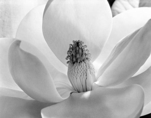 Flor de Magnolia, 1925.